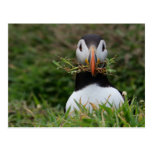 Nest Builder Puffin Post Cards