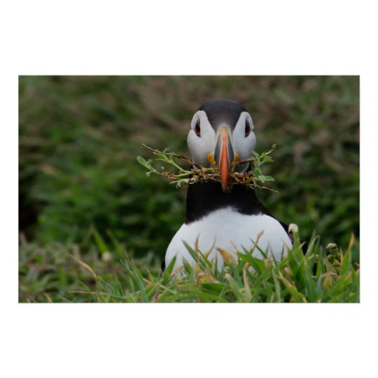 Nest Builder Puffin Poster