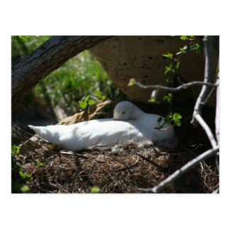 Nesting Coscoroba Swan Postcard