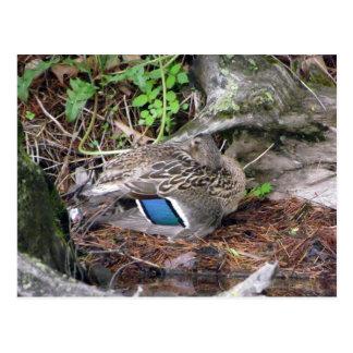 Nesting Duck Postcard