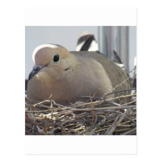 Nesting Mourning Dove Postcard