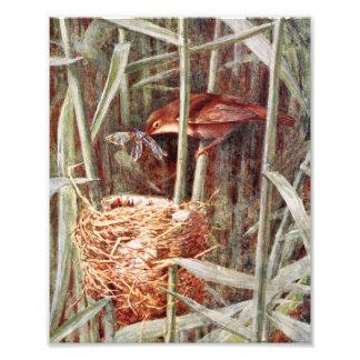 Nesting Reed Warbler Illustration Photograph