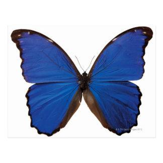 Nestira Marpho butterfly Postcards