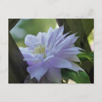 Nestled Clematis Flower Photo Postcard postcard