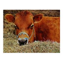 Nestled Cow Postcard