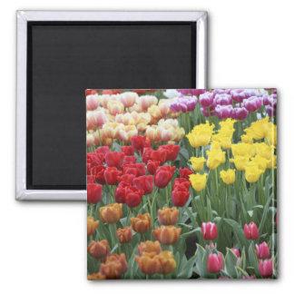 Netherlands, Keukenhoff Gardens, tulips. 2 Inch Square Magnet