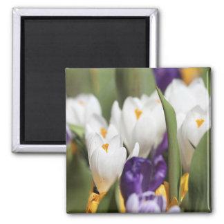 Netherlands, Keukenhoff Gardens, Tulips. Refrigerator Magnets