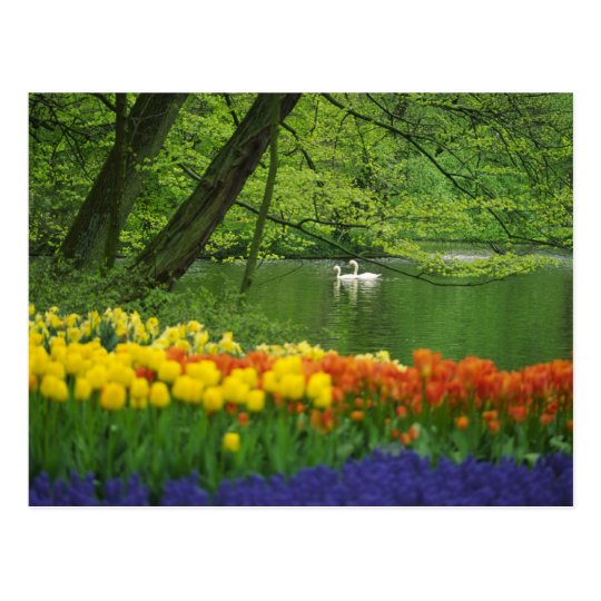 Netherlands, Lisse. White swans on pond amid Postcard