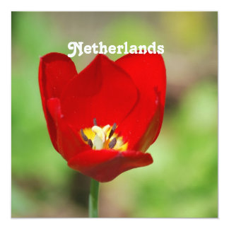 "Netherlands Tulips 5.25"" Square Invitation Card"