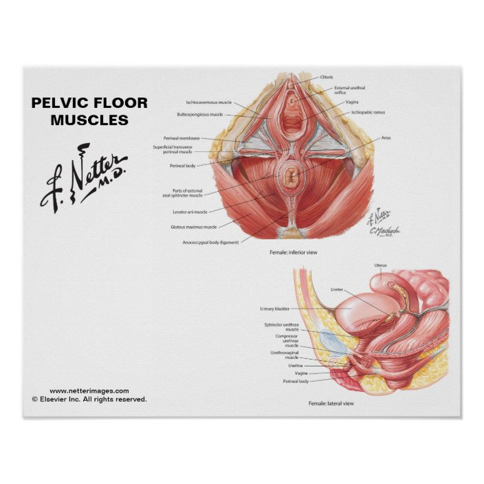 Netter's Pelvic Floor Muscles - Labeled