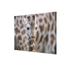 Netzgiraffe, Giraffa camelopardalis reticulata, Canvas Print