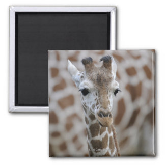 Netzgiraffe, Giraffa camelopardalis reticulata Magnet