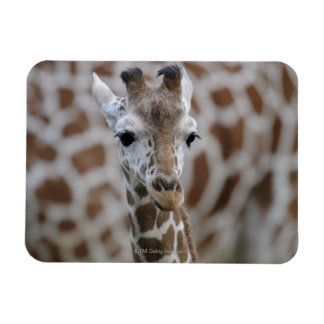 Netzgiraffe, Giraffa camelopardalis reticulata, Magnet
