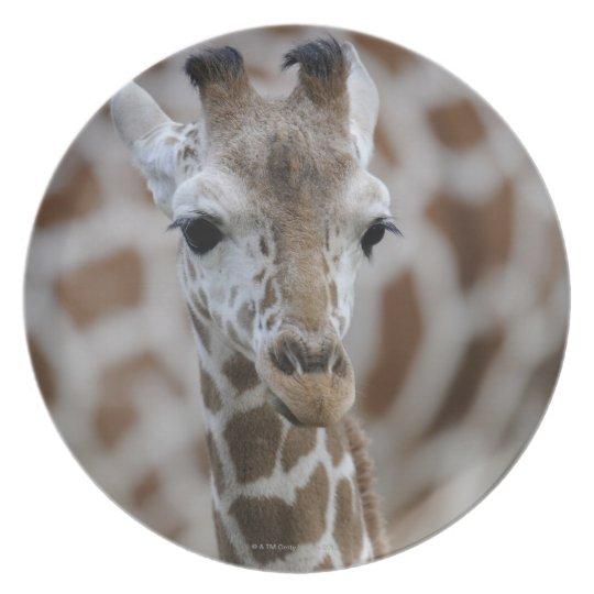Netzgiraffe, Giraffa camelopardalis reticulata Plate