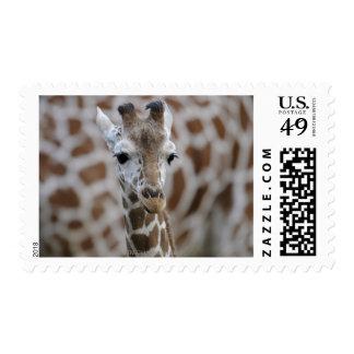 Netzgiraffe Giraffa camelopardalis reticulata Stamps