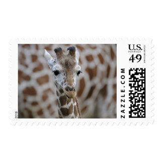 Netzgiraffe, Giraffa camelopardalis reticulata Postage Stamp