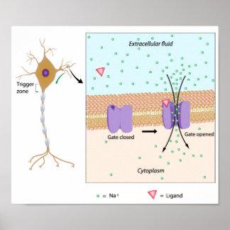 Neurona y poster potencial local