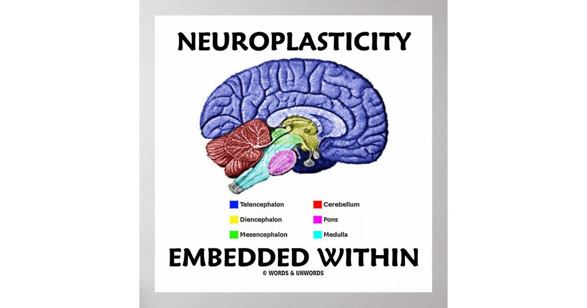 Neuroplasticity Embedded Within (Brain Anatomy) Poster   Zazzle.com