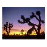 NEVADA. USA. Joshua trees Yucca brevifolia) Postcard