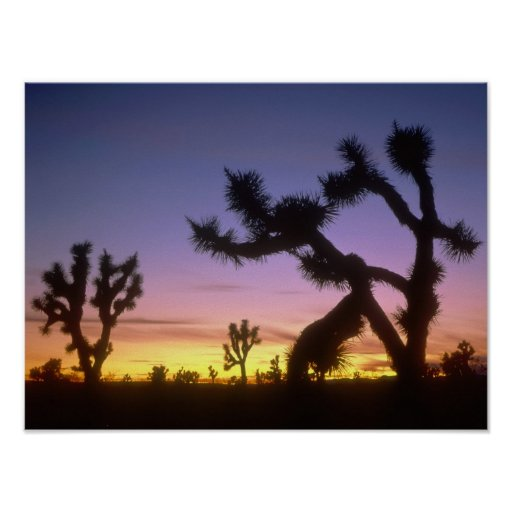 NEVADA. USA. Joshua trees Yucca brevifolia) Poster