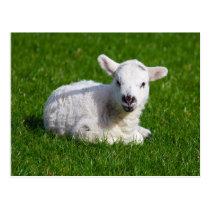 New born cute lamb on green grass postcard