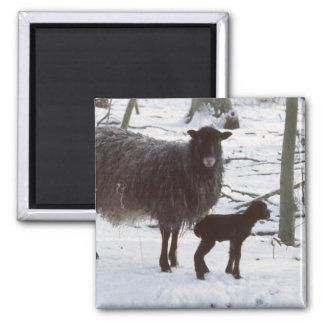 New born lamb 2 inch square magnet