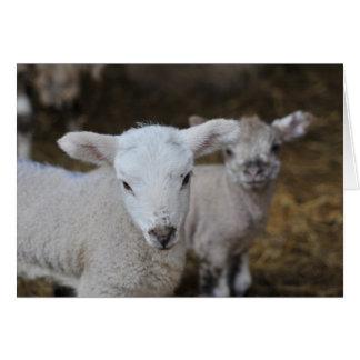 New born lambs greeting cards