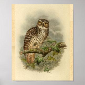 New Britain Hawk Owl Bird Color Vintage Print