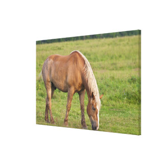 New Brunswick, Canada. Horse in field. Gallery Wrapped Canvas