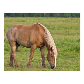 New Brunswick, Canada. Horse in field. Postcard