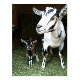 New Doeling with Mom Goat Postcard