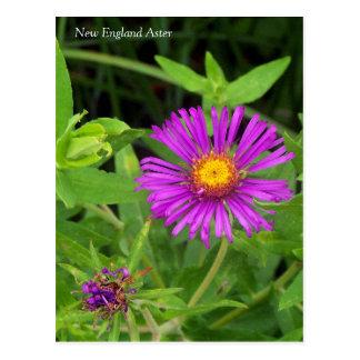 New England Aster Postcard