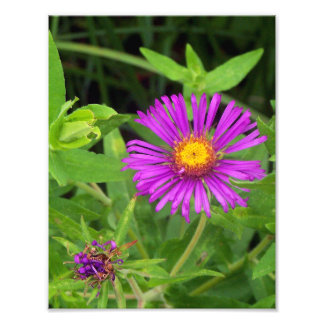 New England Aster Starting to Bloom Photo Print