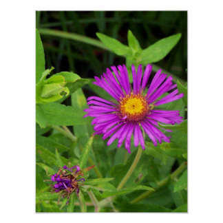 New England Aster Starting to Bloom Poster