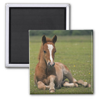 New Forest Foal Magnet