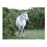new forest pony postcard