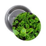 New green hosta plants in garden 2 inch round button