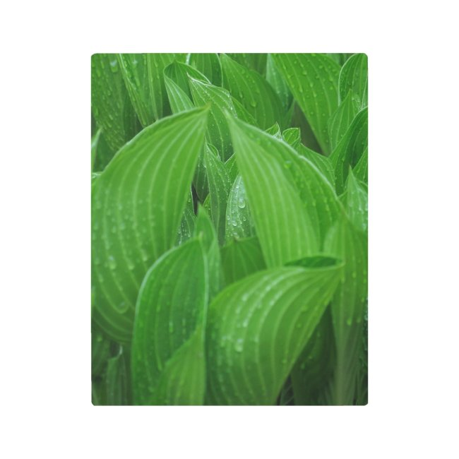 New Hostas with Raindrops Metal Print