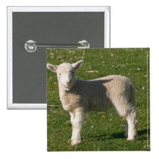 New Lamb, near Dunedin, South Island, New Pinback Button