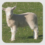New Lamb, near Dunedin, South Island, New Square Stickers