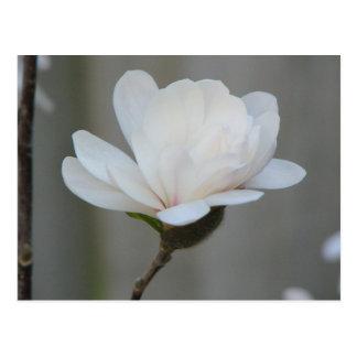 New Magnolia Centennial Postcard