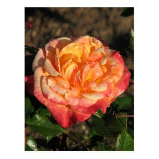 New Rose 048 Postcard