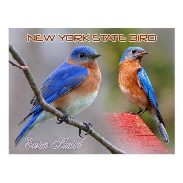 New York State Bird Eastern Bluebird Postcard Zazzle Com