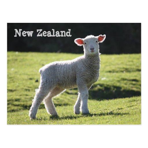 New Zealand - Adorable Lamb Looking at You Post Card