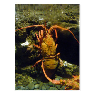 New Zealand Crayfish Postcard