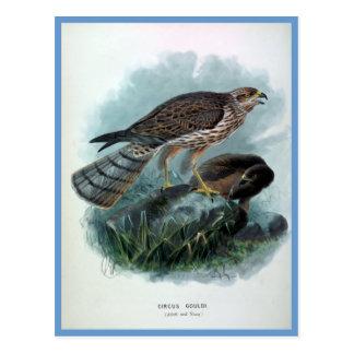 New Zealand Harrier Vintage Bird Illustration Postcard