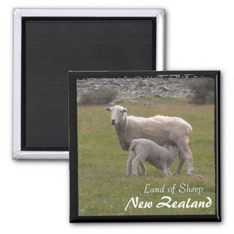New Zealand, Lamb feeding No.2 (Magnet)