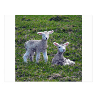 New Zealand Lambs Postcard