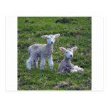 New Zealand Lambs Postcards