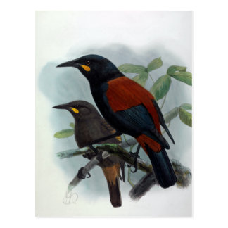 New Zealand  Saddleback Vintage Bird Illustration Postcard